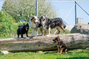 4 hundar i samma bild